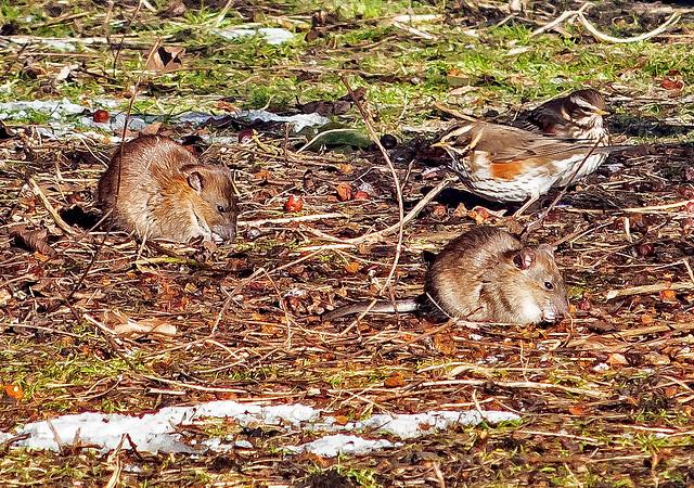 Rattus norvegicus and Turdus iliacus