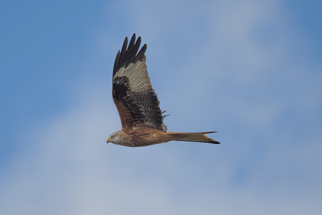 Red Kite Feb 2021