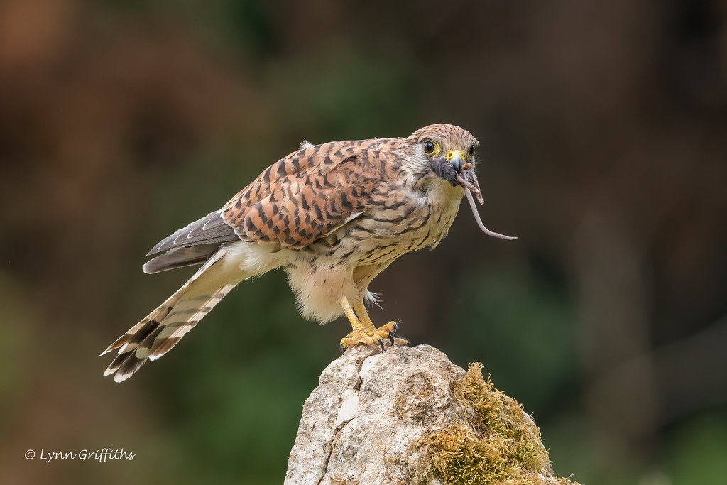 Kestrel - Female finishing lunch 850_1747.jpg