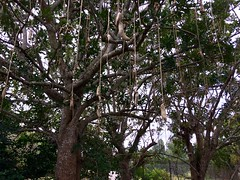 Kigelia (Sausage Tree)