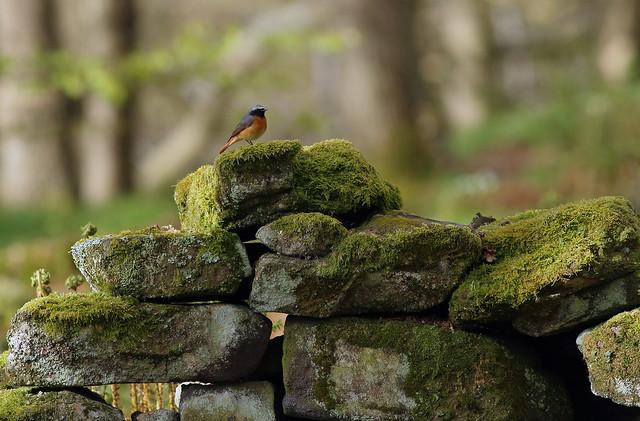 (Common) Redstart