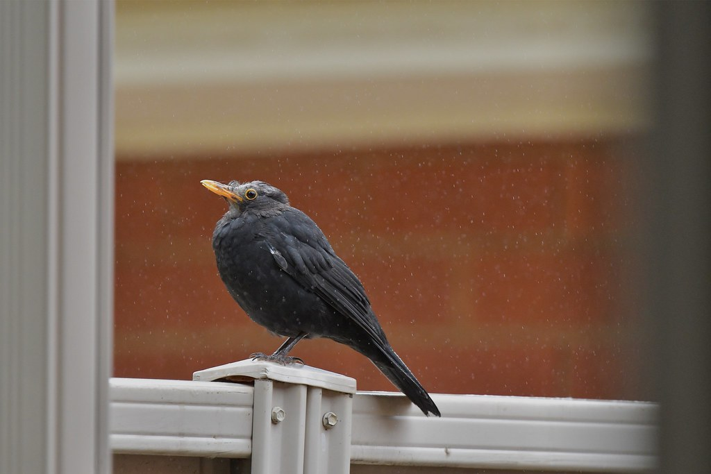 Mr Blackbird ( sitting in the rain )