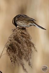 Bruant des roseaux Emberiza schoeniclus - Common Reed Bunting : IMG_7728_©_Michel_NOEL_2021_au_Lac_de_Creteil