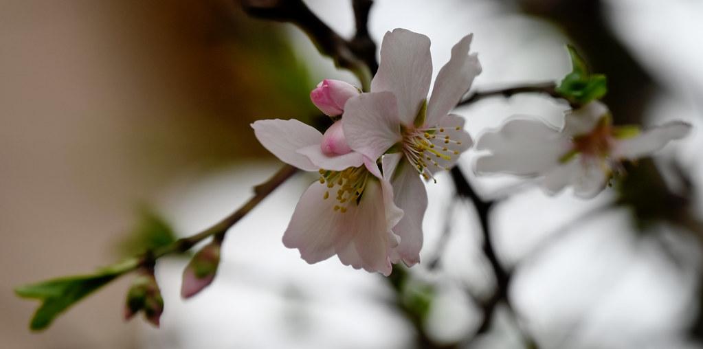 Flors d´Ametller