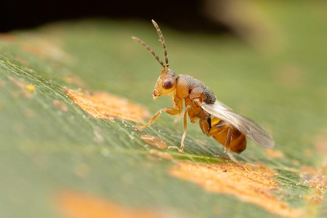 Fig wasp. Eurytomidae. Sycophila sp. 3-4mm