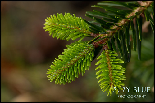 Christmas tree new growth | by suzypud