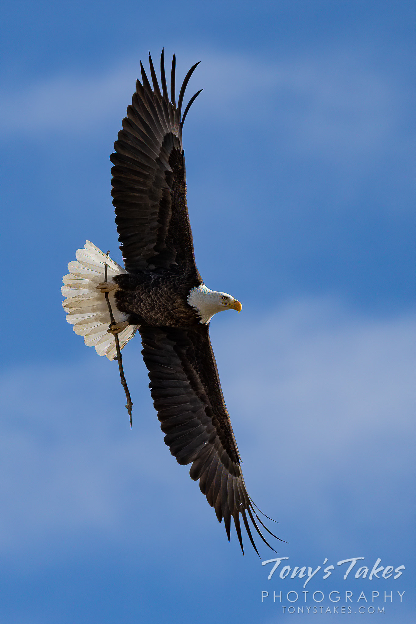 Bald eagle performs a picture-perfect flyby while working on its nest