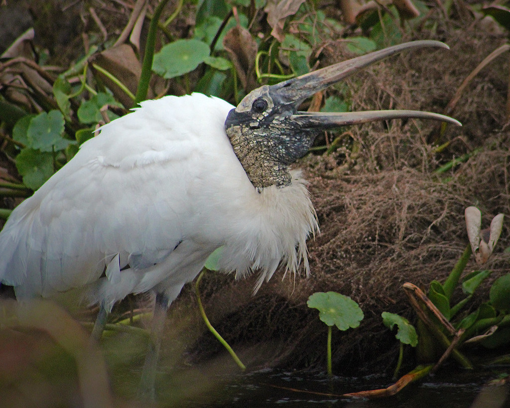 2021.01.23 La Chua Trail Wood Stork 2