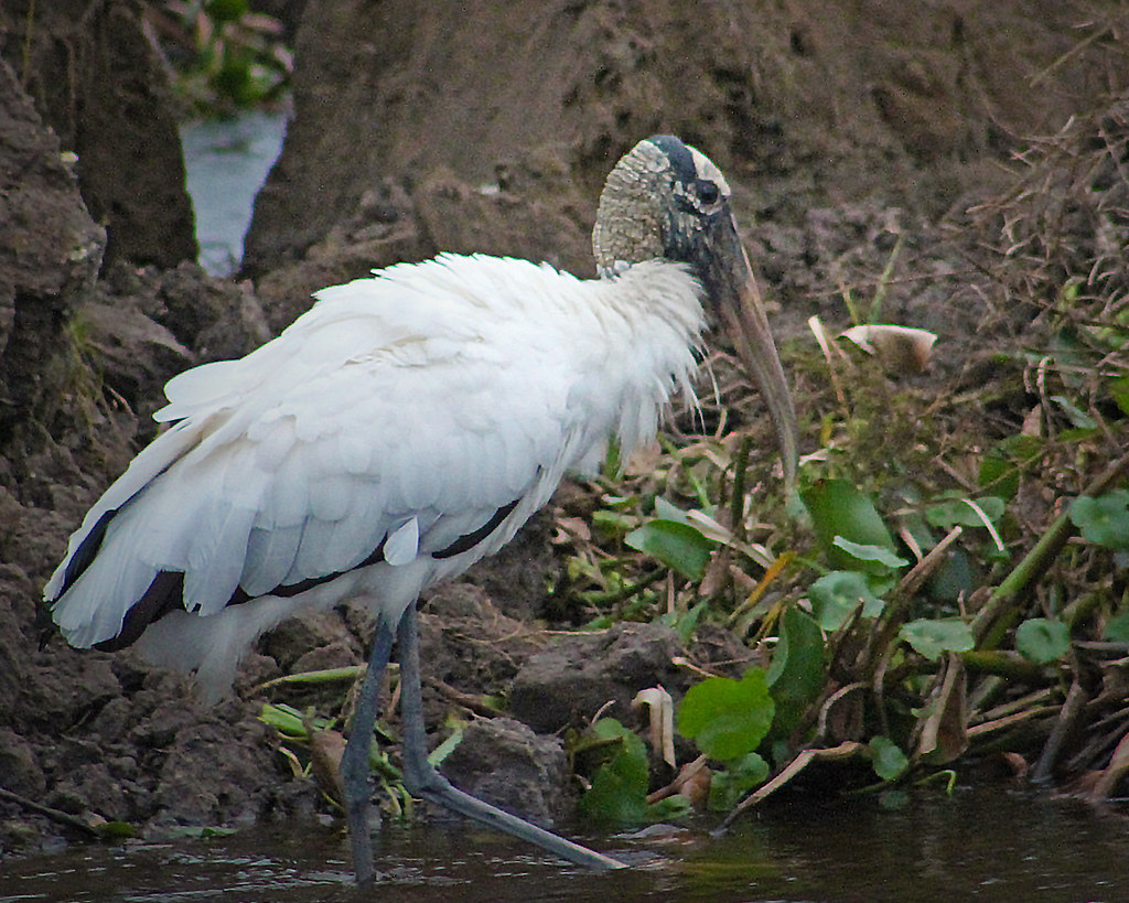 2021.01.23 La Chua Trail Wood Stork 1