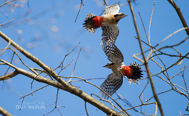 Great Spotted Woodpeckers (Dendrocopos Major) dancing_w_0074