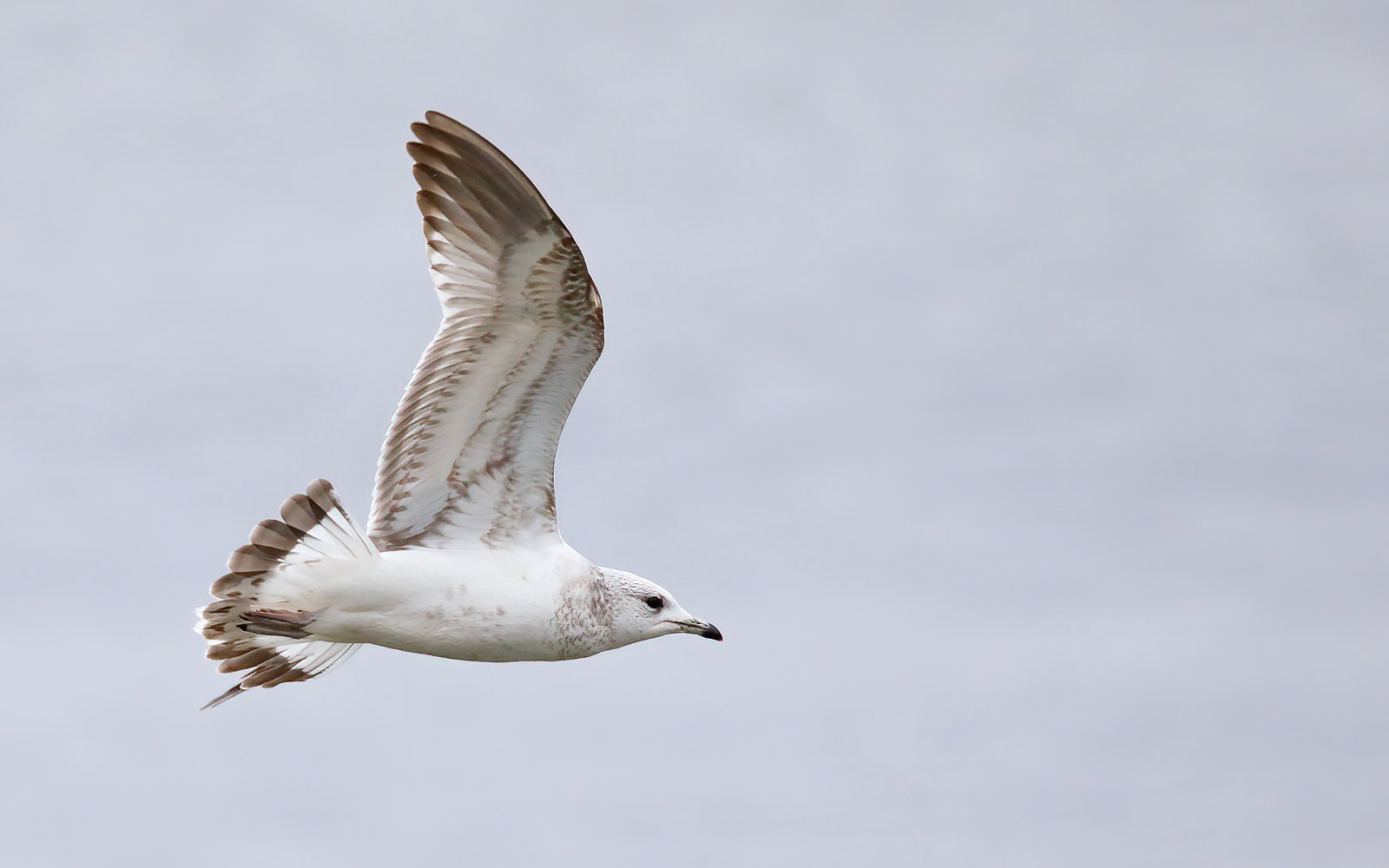 Common Gull - first winter