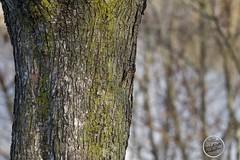 Grimpereau des jardins - Certhia brachydactyla - Short-toed Treecreeper : IMG_7725_©_Michel_NOEL_2021_au_Lac_de_Creteil