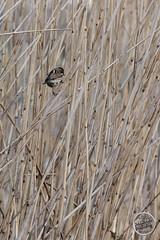 Bruant des roseaux Emberiza schoeniclus - Common Reed Bunting : IMG_7494_©_Michel_NOEL_2021_au_Lac_de_Creteil