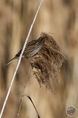 Bruant des roseaux Emberiza schoeniclus - Common Reed Bunting : IMG_7727_©_Michel_NOEL_2021_au_Lac_de_Creteil