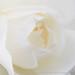 White Rose (II), 11.10.17