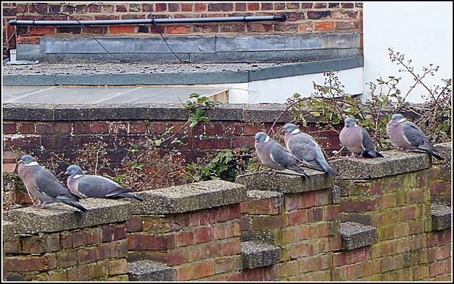 Six Pigeons ..