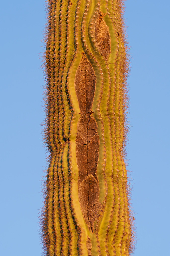 A saguaro has sealed off damage where it's skin has split in multiple places on the Apache Wash Loop Trail in Phoenix Sonoran Preserve in Phoenix, Arizona on January 2, 2021. Original: _RAC3511.arw