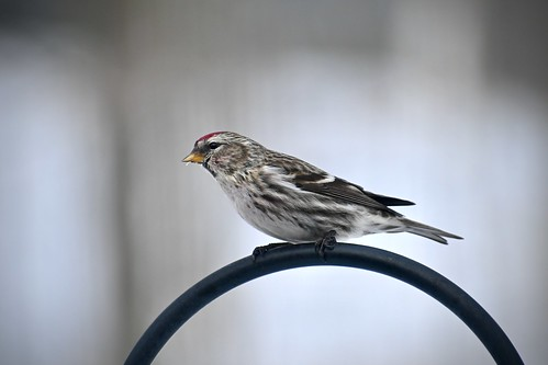 Common Redpoll | by mcwetboy