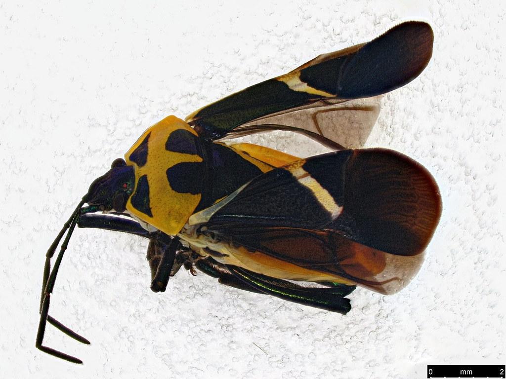 5a - Commius elegans (Donovan, 1805)