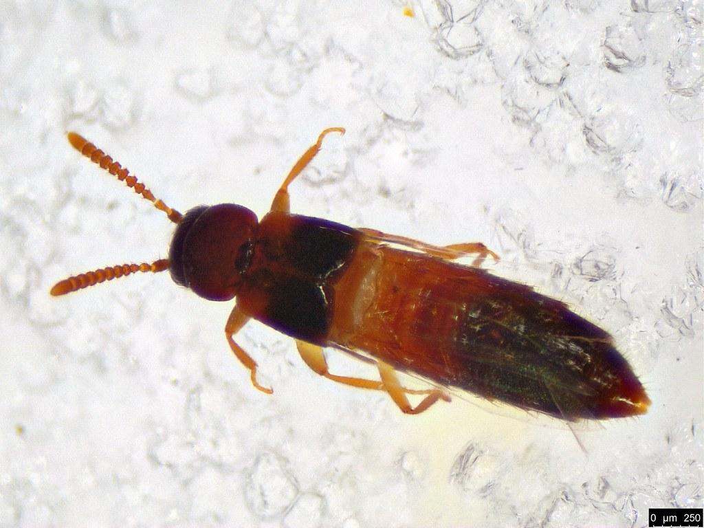 14b - Aleocharinae sp.