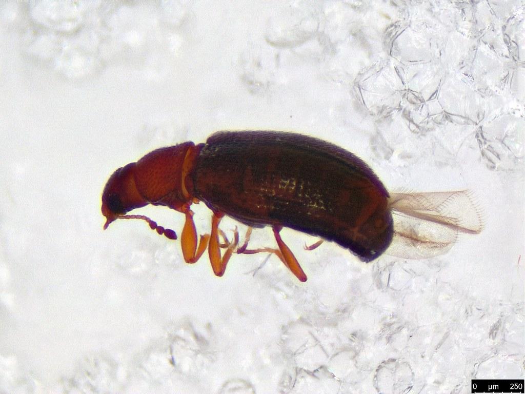 15a - Corticariinae sp.