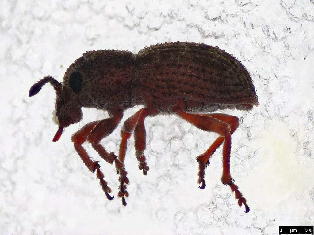 16 - Entiminae sp.