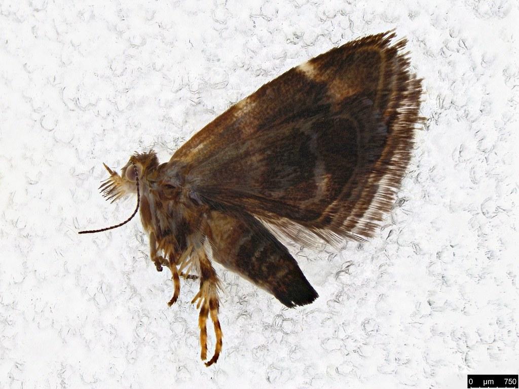 19a - Tebenna micalis (Mann, 1857)