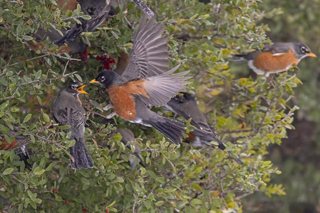 American Robins at Holly Bush