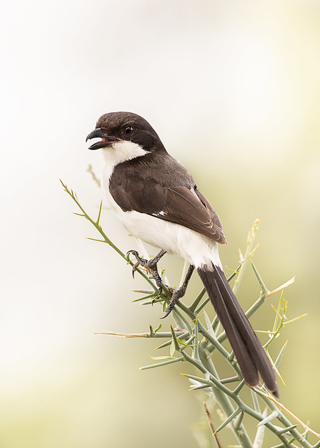 Long-tailed Fiscal (Lifer)