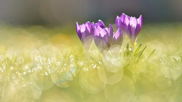 Krokus Blüten