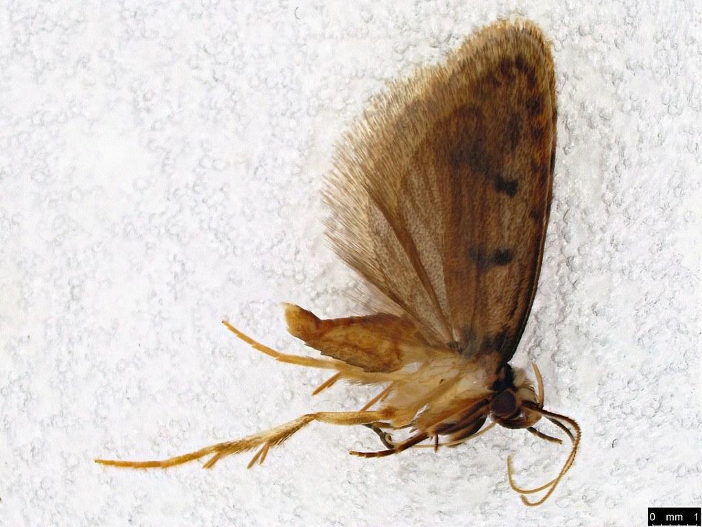 21 - Scatochresis episema (Meyrick, 1883)
