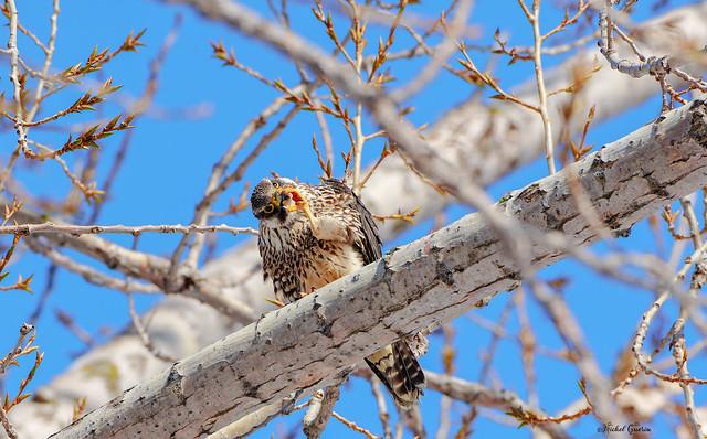 Faucon Pèlerin - Peregrine Falcon -.Falco Peregrinus