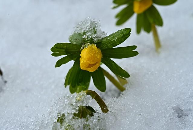 erste Frühlingsboten nach Kälte und Schnee