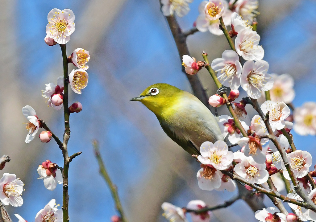 A Japanese white-eye looking for another branch of a flowering ume tree