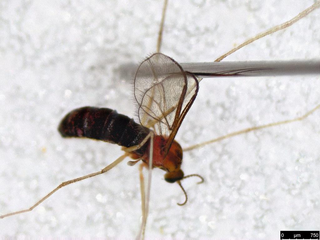 24c - Cecidomyiidae sp.