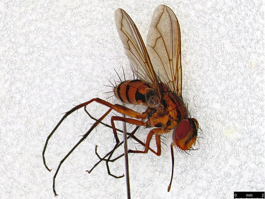 27a - Taxhinidae sp.