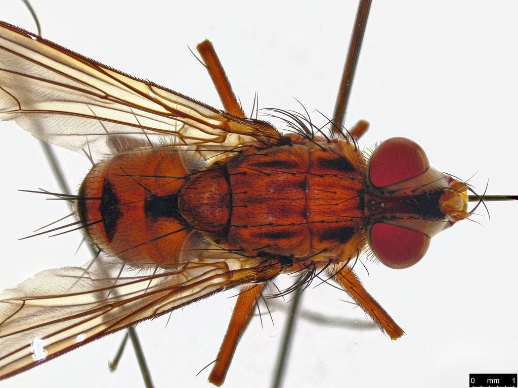 27d - Taxhinidae sp.