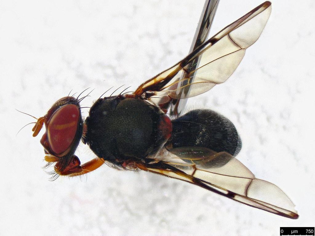 28b - Pogonortalis doclea (Walker, 1849)