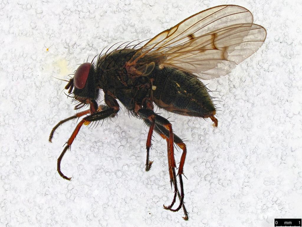 31 - Muscoidea sp.
