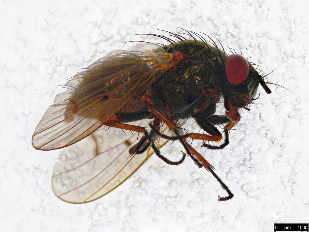 33a - Muscoidea sp.