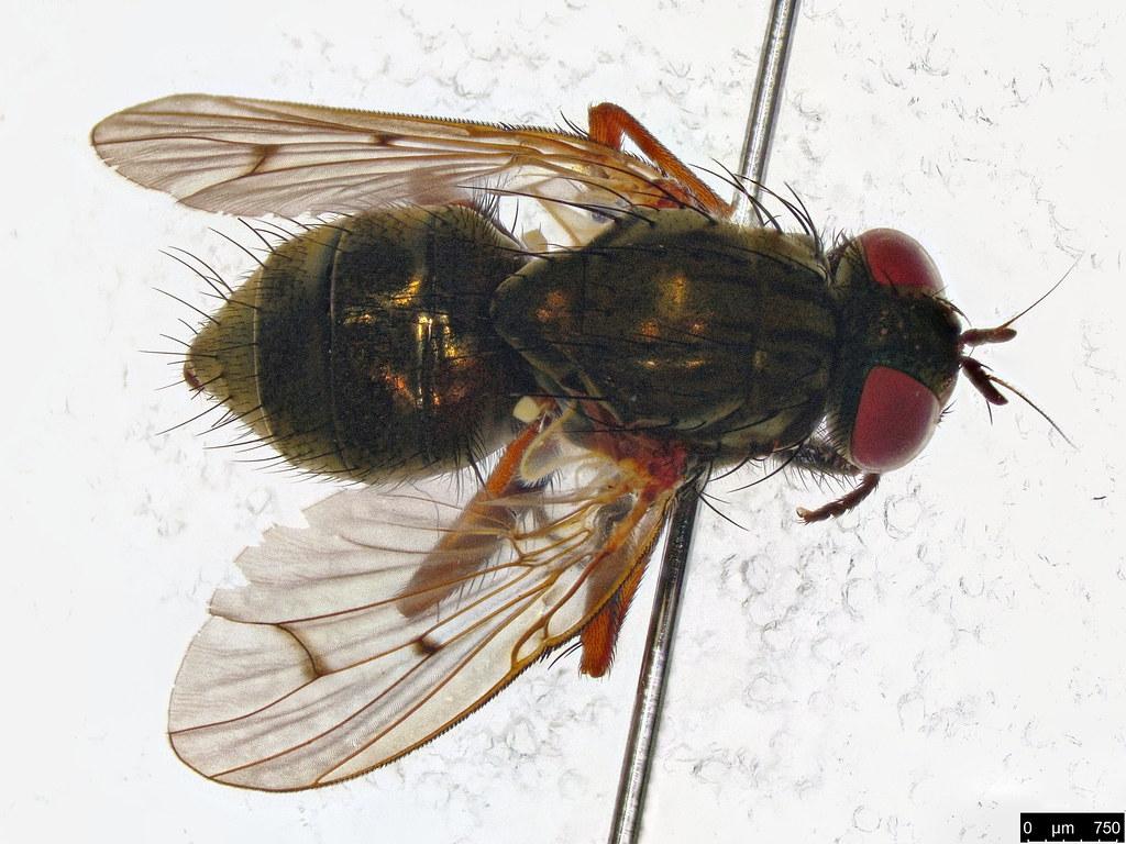 33b- Muscoidea sp.