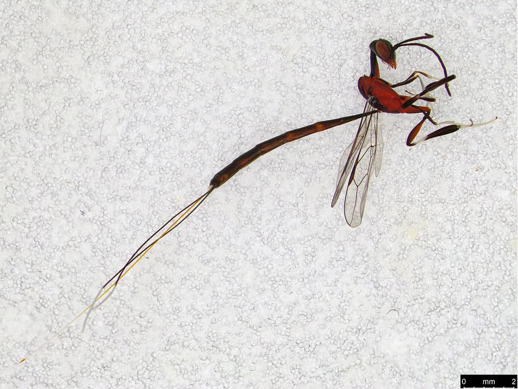 36b - Gasteruption longicolle Schletterer, 1889
