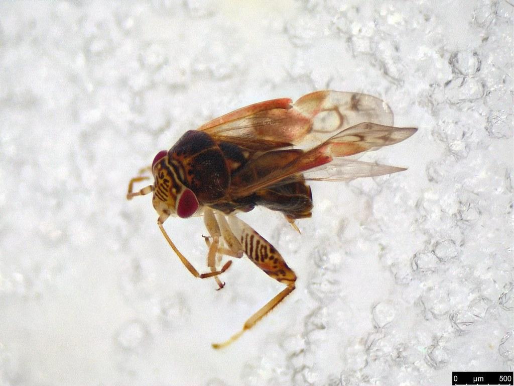 6 - Miridae sp.
