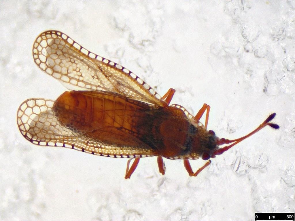 7a - Ulonemia burckhardti Péricart, 1992
