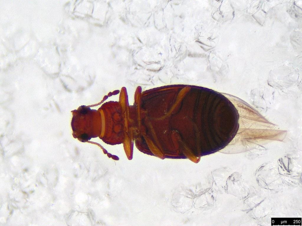 15b - Corticariinae sp.