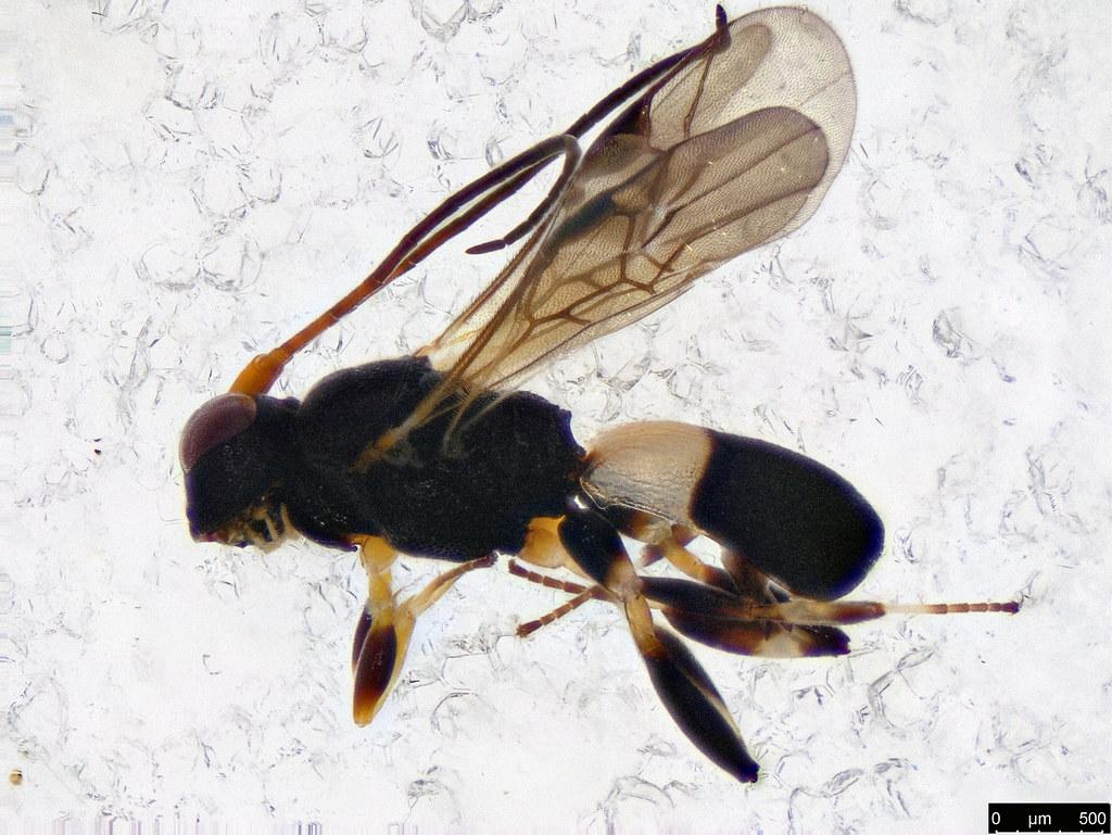 39 - Cheloninae sp.
