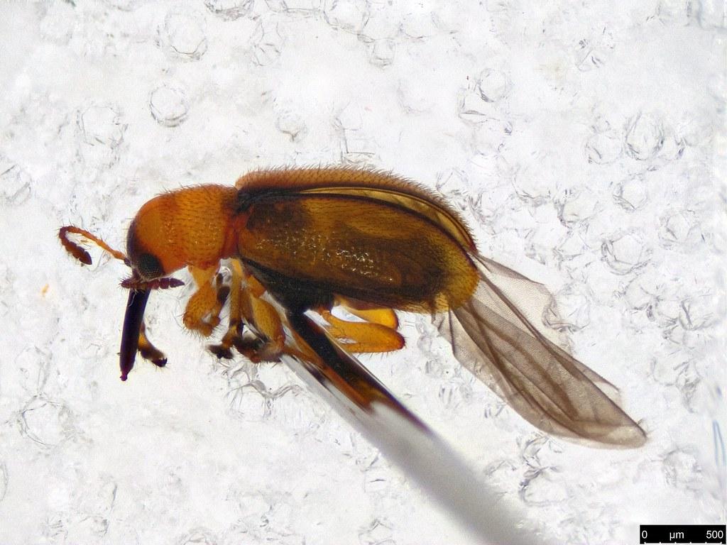 17 - Metopum sp.