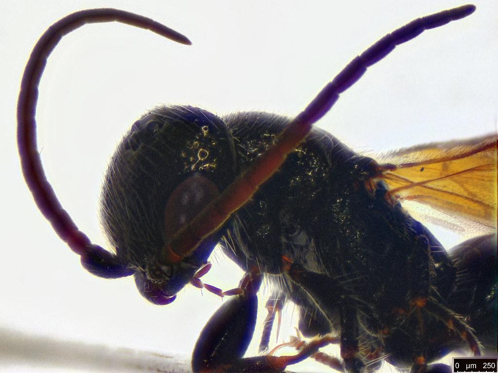 45b- Bethylidae sp.