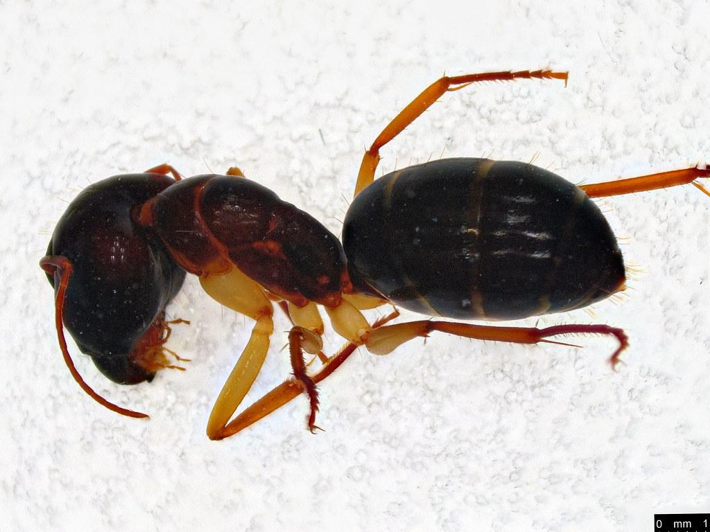52b - Camponotus sp.