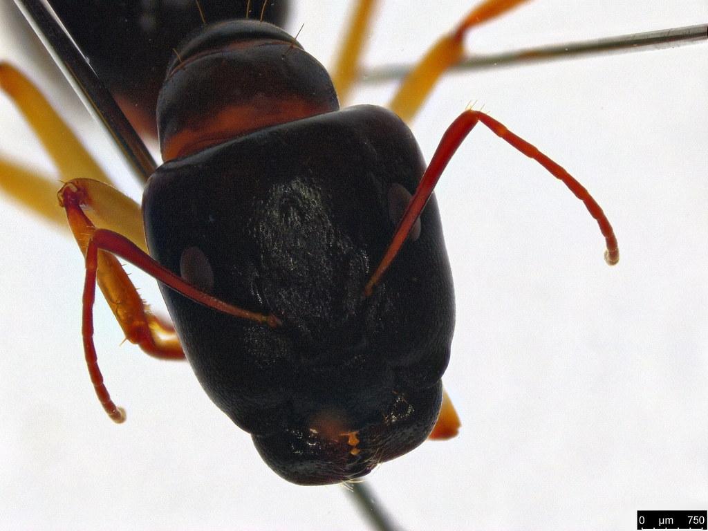 52c - Camponotus sp.